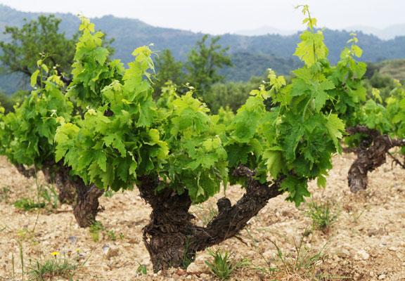 Unió de Pagesos creu que la collita del raïm caurà un 25% arreu del Camp de Tarragona